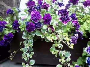 petunias-courtyard-sept-2013